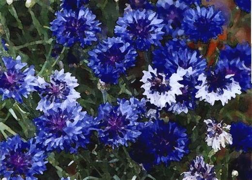 Blue Flowers Print, Lauren Curtis