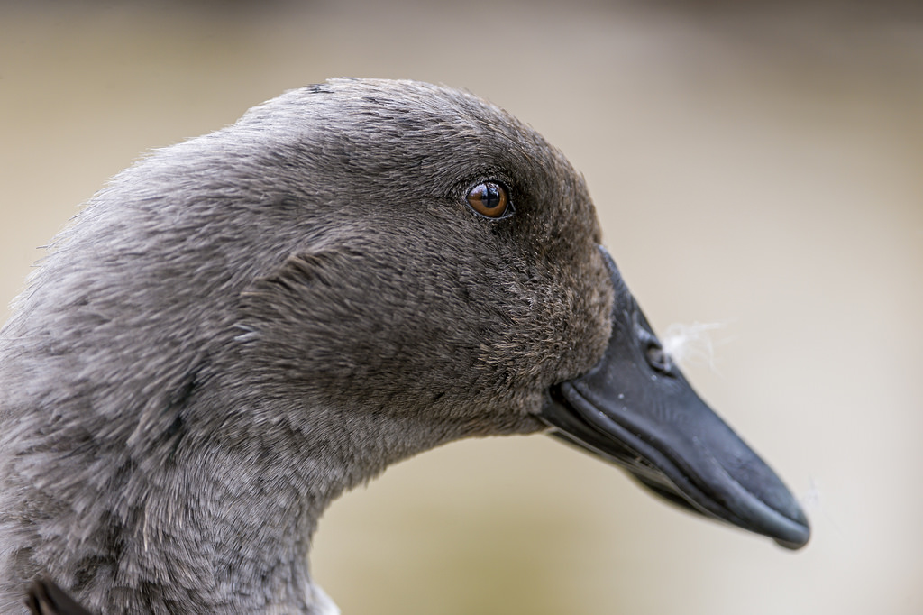 Portrait of a gray duck | by Tambako the Jaguar